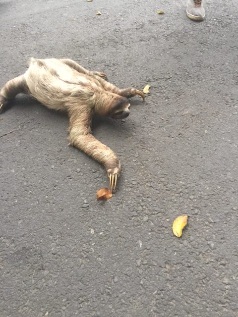THE SLOTH CROSSING THE STREET!!